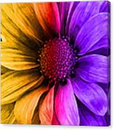 Daisy Daisy Yellow To Purple Canvas Print