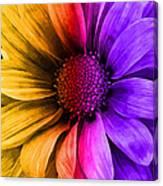 Daisy Daisy Yellow To Purple Canvas Print