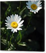 Daisy Days Canvas Print