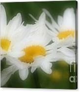 Daisy Flower Trio Canvas Print