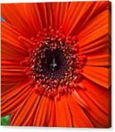 Daisy In Full Bloom Canvas Print