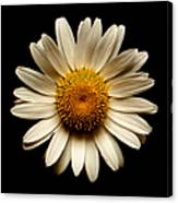 Daisy On Black Square Canvas Print