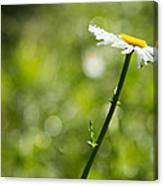 Daisy Profile Canvas Print