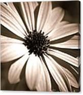 Daisy Shimmer Canvas Print