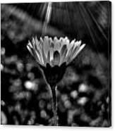 Monochrome Daisy Under Sun Canvas Print