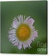 Daisy Weed Series Photo A Canvas Print