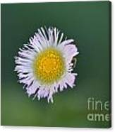 Daisy Weed Series Photo B Canvas Print
