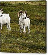 Dall Rams On Alert Canvas Print