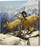 Dall Sheep Diorama Canvas Print