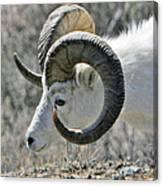 Dall Sheep Canvas Print