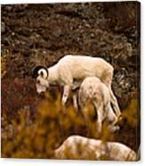 Dall Sheep Grazing Canvas Print