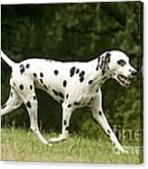 Dalmatian Running Canvas Print