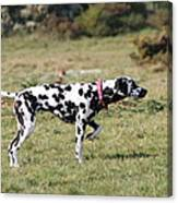 Dalmation Pretending To Be A Pointer Canvas Print