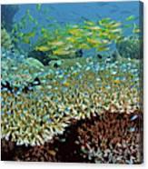 Damselfish (pomacentridae Canvas Print