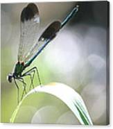 Damselfly On Little River  Canvas Print