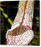Dana's Delight Carnivorous Pitcher Plant Canvas Print
