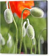Dancing Orange Poppy Flower Pods Canvas Print