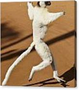 Dancing Sifaka 2 Canvas Print