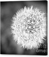 Dandelion 2 In Black And White Canvas Print