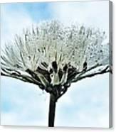 Dandelion After Rain Canvas Print