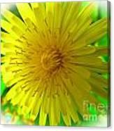Dandelion Blossom Canvas Print