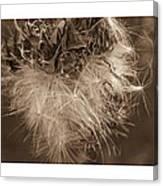 Dandelion Burst Sepia Canvas Print
