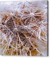 Dandelion Closeup Canvas Print