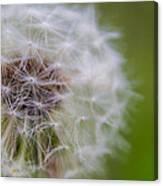 ...dandelion Canvas Print