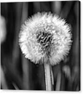 Dandelion Fluff Black And White Canvas Print