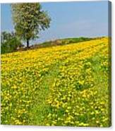 Dandelion Meadow And Alone Tree  Canvas Print