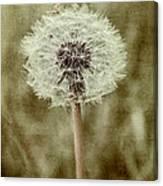 Dandelion Textures Canvas Print