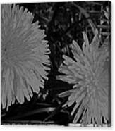 Dandelion Weeds? B/w Canvas Print