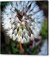 Dandelion Wish  Canvas Print