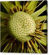 Dandelion With Seeds Canvas Print
