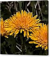 Dandelions In Group  By Leif Sohlman Canvas Print