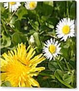 Dandy With The Daisies Canvas Print