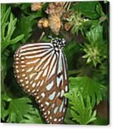 Dark Blue Tiger Butterfly Canvas Print