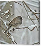 Dark-eyed Junco Or Snowbird - Junco Hyemalis Canvas Print