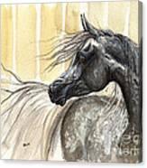 Dark Grey Arabian Horse 2014 02 17 Canvas Print
