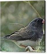 Darkeyed Junco  Canvas Print