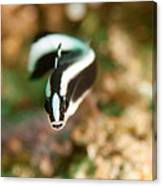 Dartfish Checking Me Out Canvas Print