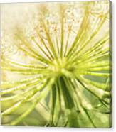 Daucus Carota - Queen Anne's Lace - Wildflower Canvas Print