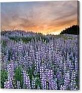Dawn Of Lupine Canvas Print