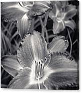 Day Lilies In Black And White Canvas Print