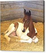 Day Old Colt Canvas Print