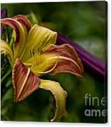 Daylily Picture 452 Canvas Print
