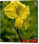 Daylily Picture 469 Canvas Print