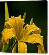 Daylily Picture 539 Canvas Print