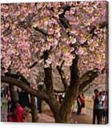 Dc Cherry Blossom Tree Canvas Print