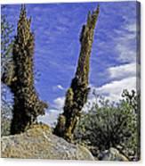 Death Of A Cactus Canvas Print